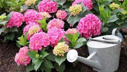 Обзор удобрений для садовых гортензий