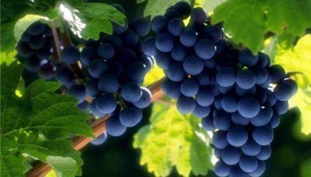 Чем подкормить виноград для хорошего урожая?