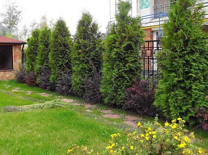 какие деревья посадить вдоль забора