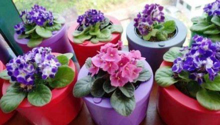 Подкормка для цветения фиалок в домашних условиях