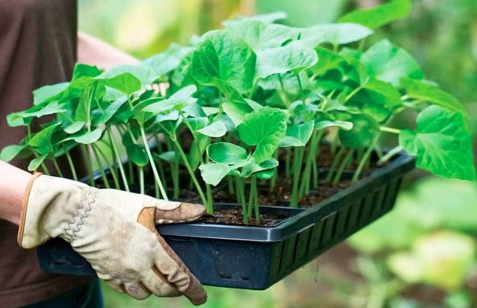 фитогормон роста растений